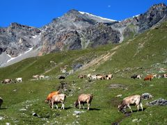 Koeien in het berglandschap van Engadin en Zwitsers nationaal park