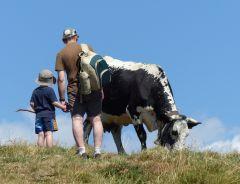 Trektocht Vogezen, koe op de Haute Chaume